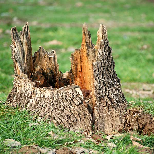 Stump that needs to be removed and grinded in edmonton by arbor man tree care