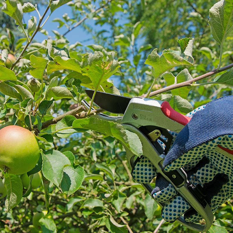 Edmonton Fruit Tree Pruning Tips